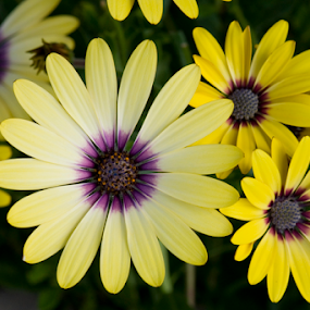 Shasta daisy's by Janet Gilmour-Baker - Flowers Flower Gardens ( yellow flowers, nature, flora, flower gardens, yellow, flowers, flower, flowers 16 )
