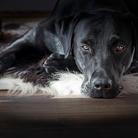 Bruno Chillin' by Andrew Robinson - Animals - Dogs Portraits ( retriever, puppy, dog, labrador )
