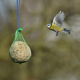 Sýkorka modřinka by Maki Vykydalova - Animals Birds ( sunset )