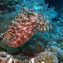 Broadclub Cuttlefish