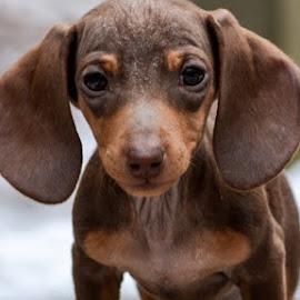 Lola by Bridget Wegrzyn - Animals - Dogs Puppies