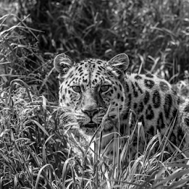 Leopard by Garry Chisholm - Black & White Animals ( leopard, nature, mammal, big cat, garry chisholm )