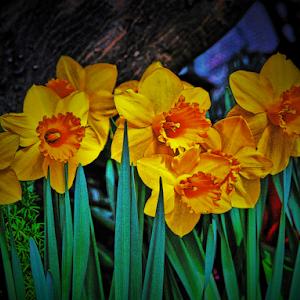 Dafodil garden digital.jpg