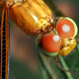 dragonfly facet by Christian Tjen - Animals Insects & Spiders