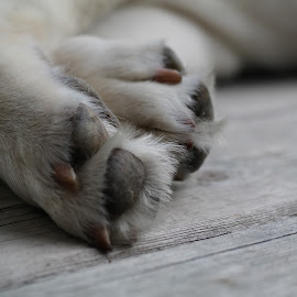 Puppy paws by Cyndi Wiesneski - Animals - Dogs Portraits ( i love paws, puppy, paws, dog, lab )