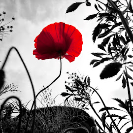 Rememberance by Iain Mavin - Nature Up Close Other plants ( rememberance, selective colour, red, black and white, 11th november, thought provoking, moody, poppy, atmospheric )