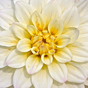Dahlia by Ann Bjerring Ravn Weis - Nature Up Close Flowers - 2011-2013