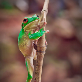 Go up .... by Vincent Sinaga - Animals Amphibians ( al, frog, tree frog, amphibian, green frog )