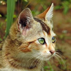 Kitten  by Asif Bora - Animals - Cats Kittens