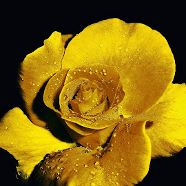 Golden rose for my Princess... by Милан Јакшић - Flowers Single Flower ( love, princess, god, roses, tears, hope )