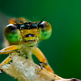 Macro Of An Alien by Chiradeep Mukhopadhyay - Animals Insects & Spiders ( macro, damselfly, insect, dragonfly, close up )