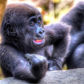 Baby Lowland Gorilla by Jim Pruett - Animals Other Mammals