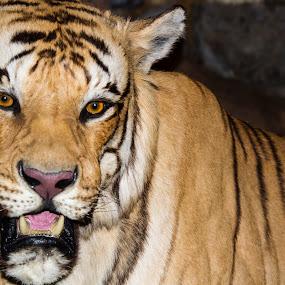 Tiger by Scott Thomas - Animals Lions, Tigers & Big Cats ( big, nature, outside, cat, tiger )