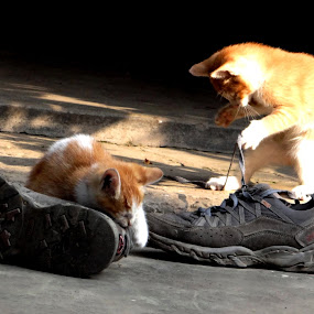 How can I laced the Shoe !!!!! by Subrata Sarkar - Animals - Cats Playing
