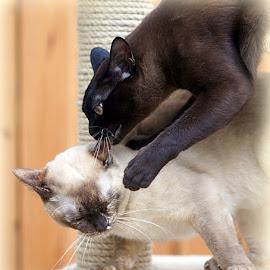 Brown Burmese Cat by Caroline Beaumont - Animals - Cats Playing ( tortie burmese cat, brown burmese cat )