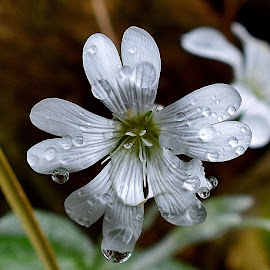 macro  by Zhenya Philip - Flowers Single Flower ( water, white flower, macro, nature, macro photography, artistic, nature up close, earth, photo, water droplets, photography, flower,  )