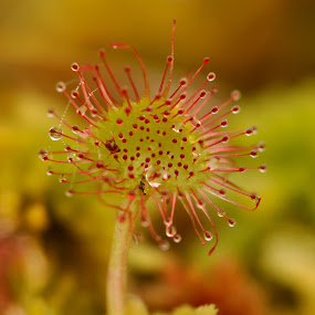 Common sundew by Dalia Račkauskaitė - Nature Up Close Flowers - 2011-2013 ( plant, common sundew, drosera rotundifolia, nature, round-leaved sundew )