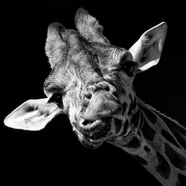 by John Phielix - Black & White Animals