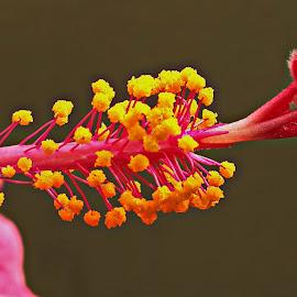 Hibiscus by Prema Pangi - Nature Up Close Gardens & Produce