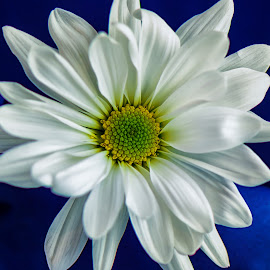 Single White Daisy by Carol Ward - Flowers Single Flower ( nature, nature up close, daisy, white daisy, flowers )