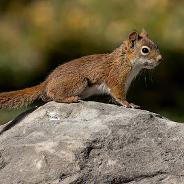 Chipmunk on a rock by Rick Pelletier - Animals Other