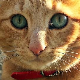 Shy eyes by Dobrin Anca - Animals - Cats Portraits ( love, cat, brittany, shy, eyes )