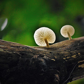 Up above the world so high.. by Anoop Namboothiri - Nature Up Close Mushrooms & Fungi ( wood, tree, pair, white, anoop namboothiri, sunshine, mushrooms )