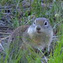 Beldings ground squirrel