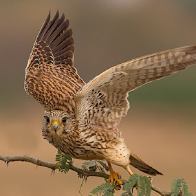 kestrel by Jineesh Mallishery - Animals Birds ( wildlife, jineesh, kestrel.bird )