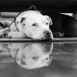 Kanani by Anna Odom - Animals - Dogs Portraits ( dogs, black and white, pitbull, pit bull, portraits )