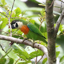 Orange-breasted Fig Parrot