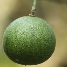 Sanes Cangkudu by Dedi Sukardi - Nature Up Close Gardens & Produce ( fruit, nature up close, produce, lemon )