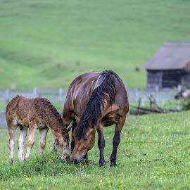 Mother love by Marius Turc - Animals Horses ( apuseni, nature, green, horse, flower, rain )