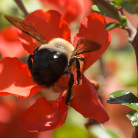 Digging In  by Janice Mcgregor - Flowers Tree Blossoms ( canon, outdoor photography, bee, macro photography, bloom, insect, spring, blossom, flying, macro, red, pollen, bumble bee, tree, color, wings, bush, summer, canon photography, outside, flower, canon gear )