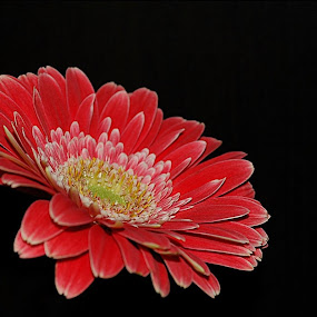 by Angela Codrina Andries Bocse - Flowers Single Flower