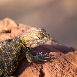 Lizard sunning itself at the Glenn Canyon National Recriation Area.  by Gene Curl - Animals Reptiles ( national park, lizard, lake, reptile, sun,  )