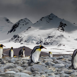 Kings by Mark Molinari - Animals Amphibians ( #nature #penguins #wildlife )