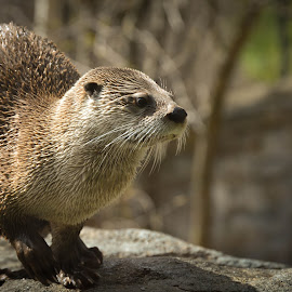 River Otter by Colleen Bruso - Animals Other Mammals (  )