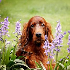 My dear Samson by Ken Jarvis - Animals - Dogs Portraits ( irish setter, dog portrait, irish, dog, bluebells )
