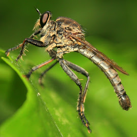 Robberfly by Nandes Sicknoise - Animals Insects & Spiders