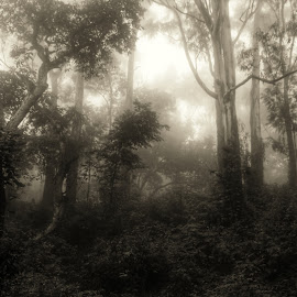 Mysterious  by Saikat Ghosh - Landscapes Forests ( nature, mysterious, white, saikat, forest, black, mist )