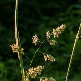 balancing by Barb Postal - Nature Up Close Leaves & Grasses ( grass, weed, seeds, spring, flower, flowerhead, seedhead )