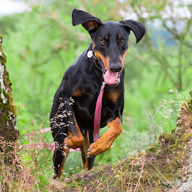 Dobermans by Jenny Trigg - Animals - Dogs Running ( duo, puppy, dog, doberman, brothers )