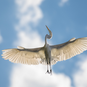 Flying Egret by Robert George - Animals Birds (  )