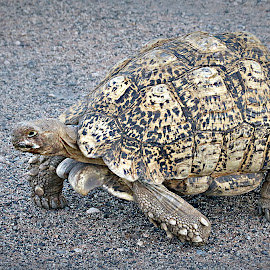Tortoise by Pieter J de Villiers - Animals Reptiles