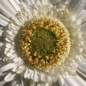 by Mirjana  Bocina - Flowers Single Flower (  )