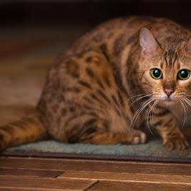 Taj on the Prowl by Matt LaCorte - Animals - Cats Portraits