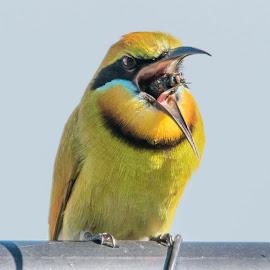 Rainbow Bee Eater with bee by Kelly Gordon - Animals Birds ( animals, nature, wildlife, birds,  )