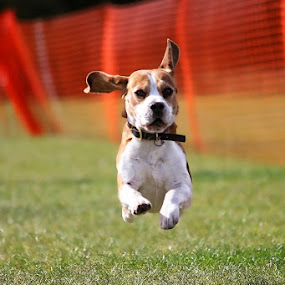 Here boy! by Peter Parker - Animals - Dogs Portraits ( ear, fly, run, dog )