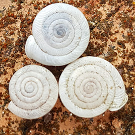 Three little shells by Christina McGeorge - Nature Up Close Rock & Stone (  )